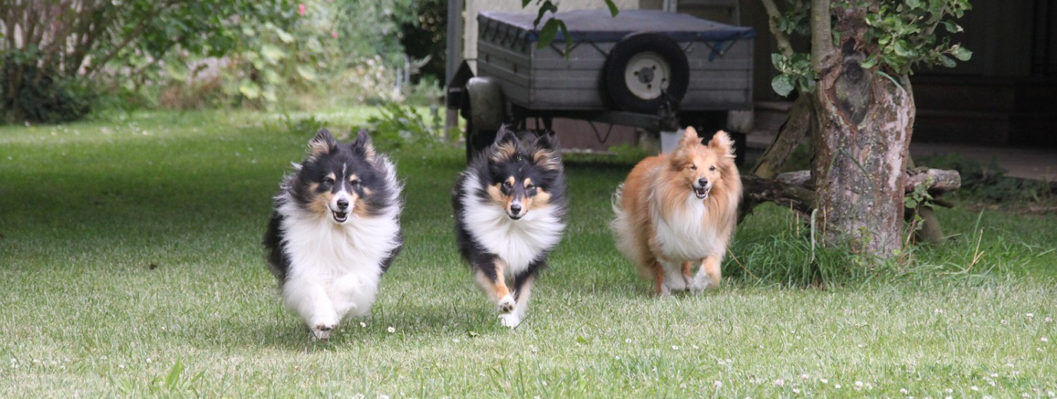 Heartfire-Shelties